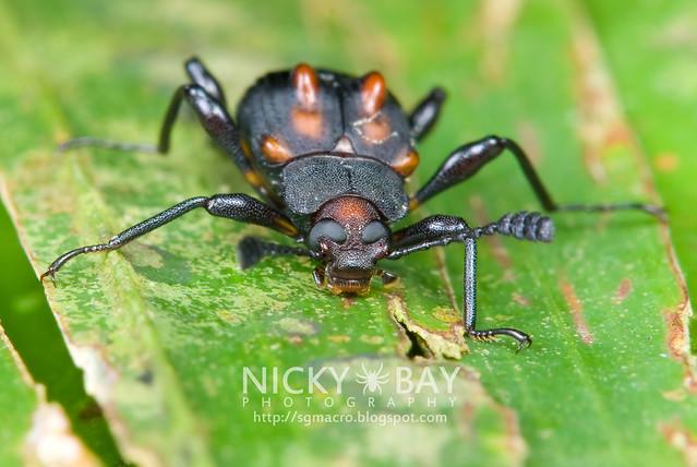 Darkling Beetle (Tenebrionidae) - DSC_9562