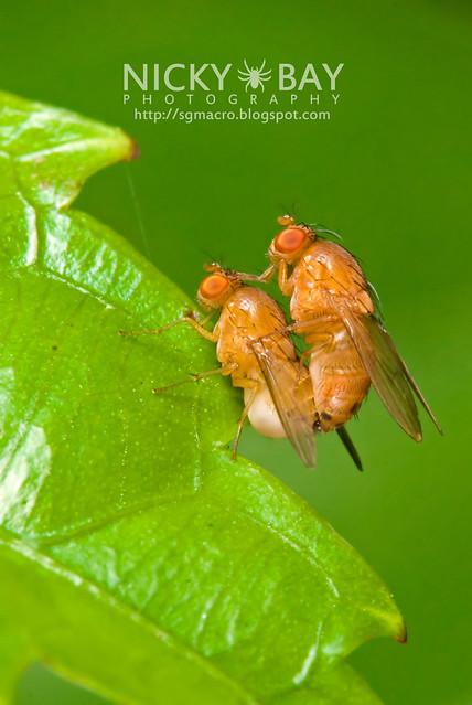Mating Fruit Flies? - DSC_5382