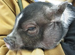 Rufus, the pot-bellied pig