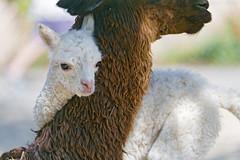 Tender moment between llamas