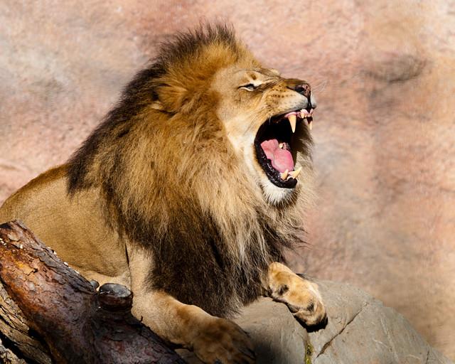 African lion roar flickr photo sharing