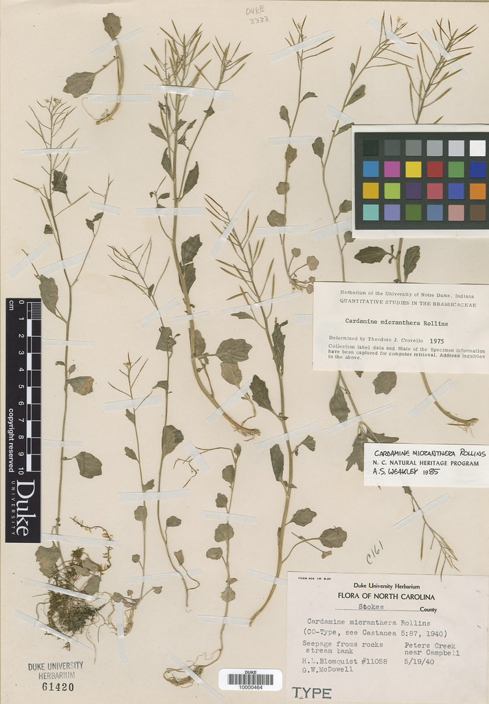 Brassicaceae_Cardamine micranthera