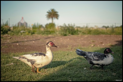 Patos by MarcosCousseau