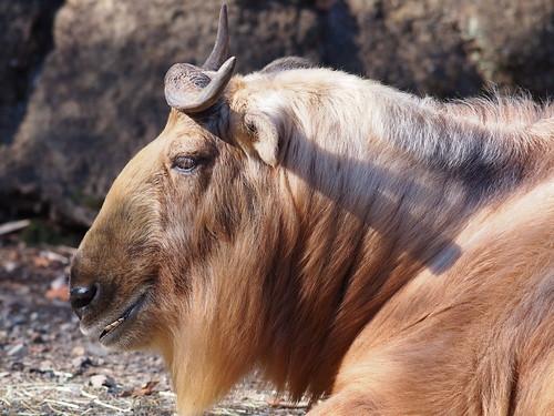 多摩動物公園 ゴールデンターキン