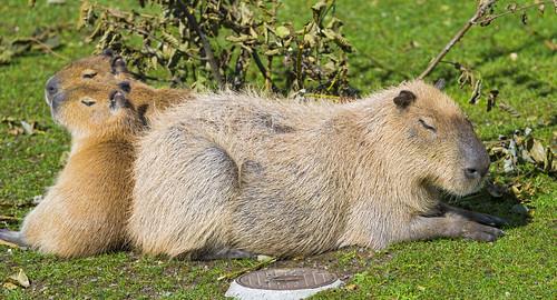 [フリー画像素材] 動物 (哺乳類), 哺乳類 (その他), カピバラ, 寝顔・寝姿 ID:201301121000
