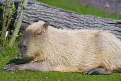 Capybara lying in the grass