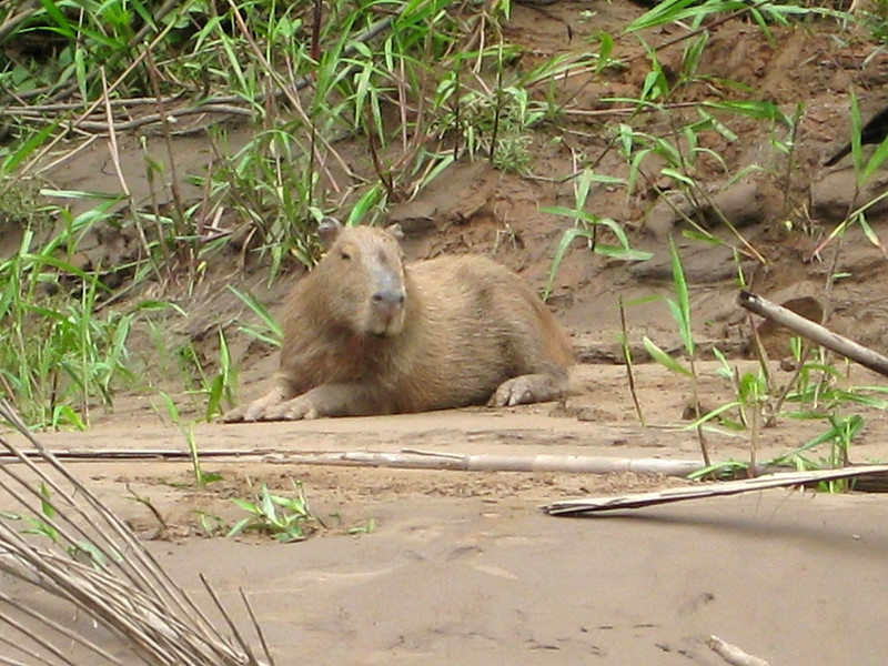 A capybara on the banks of the Tambopata River