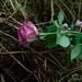 A Rose at Glen Coe - Scotland