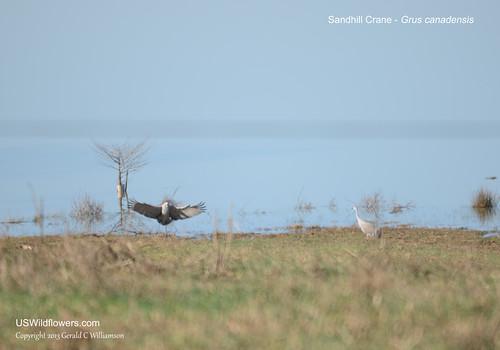 Sandhill Cranes at Hiwassee Wildlife Refuge by USWildflowers, on Flickr