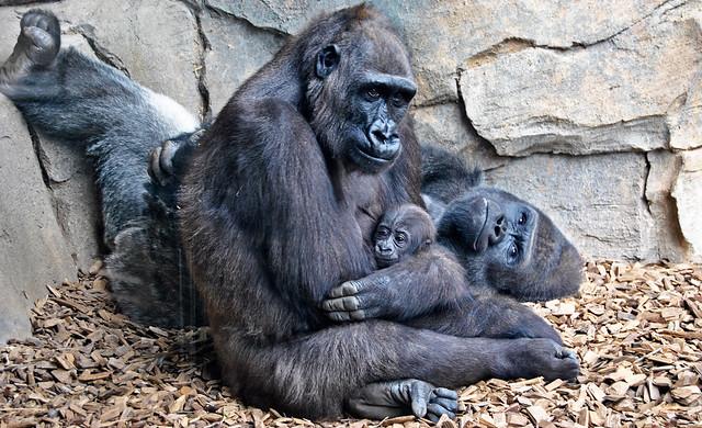 La familia de gorilas (Bioparc Valencia)