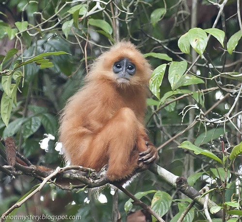 red leaf monkey IMG_7029 copy