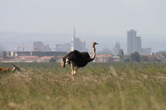 An Ostrich with Nairobi in the Background