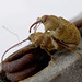 Small photo of Curculio elephas. Mating Weevils. Curculionidae
