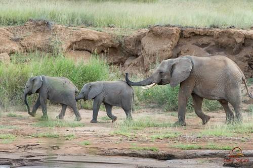 Elephant Conga Line