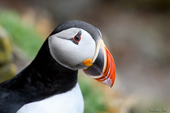 One little Puffin