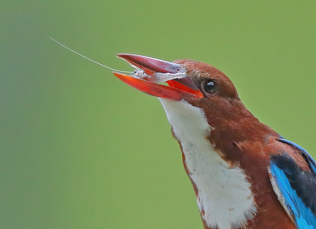 White-throated Kingfisher (Halcyon smyrnensis) 白胸翡翠, Canon EOS-1D X MARK II, Canon EF 800mm f/5.6L IS