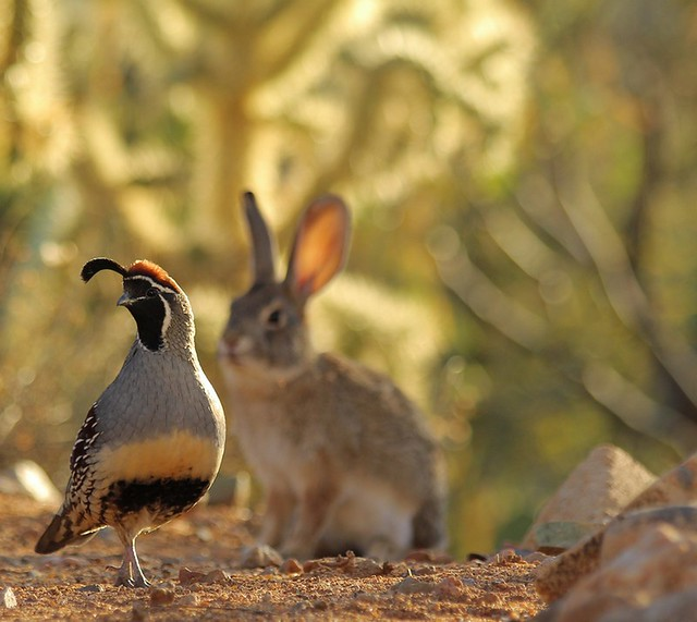 "Desert Cottontail ""shadowing"" male Gambel's Quail."