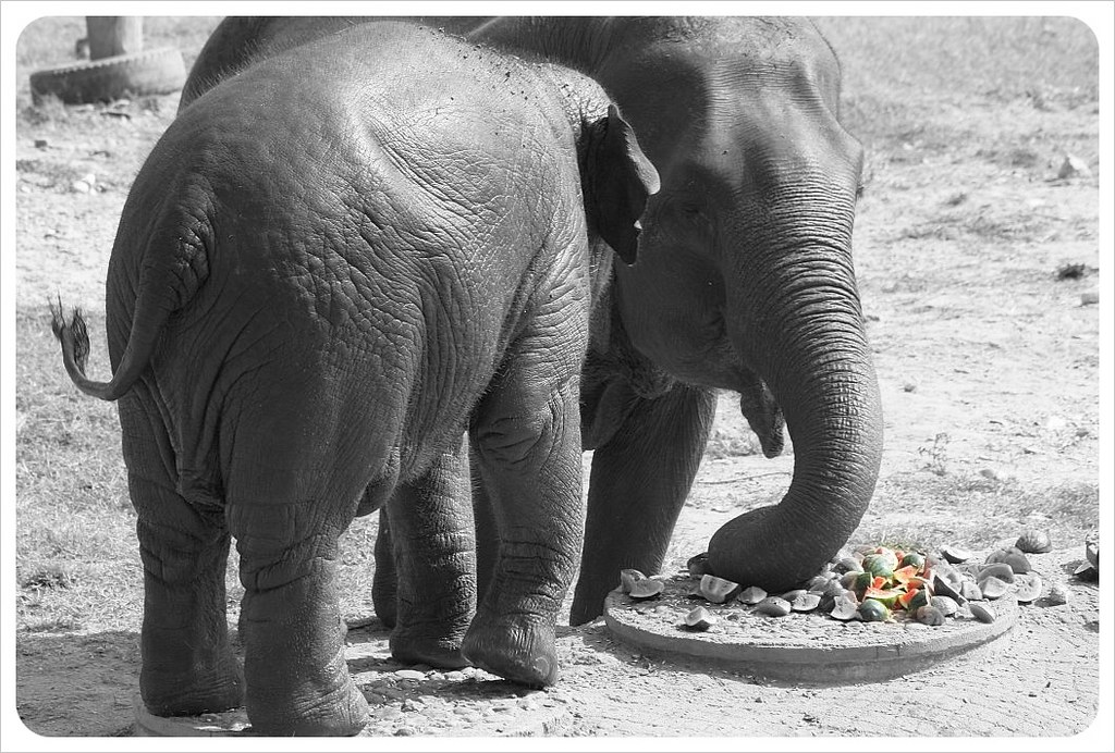 elephant natur park feeding time