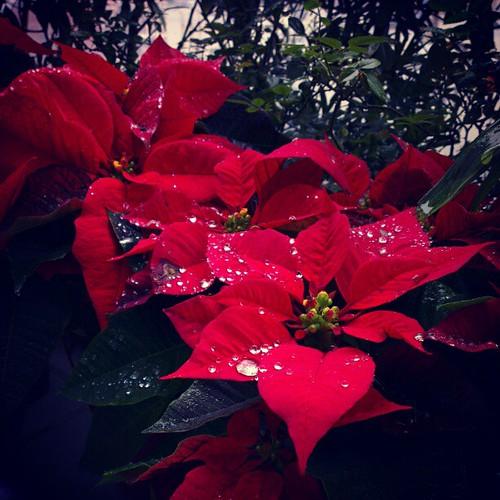 露珠聖誕紅,水。