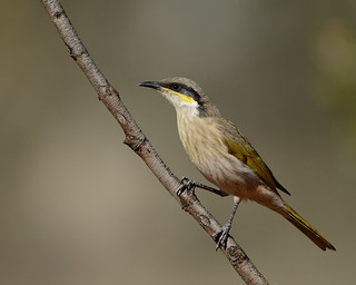 Singing Honeyeater (Lichenostomus virescens) 1/1