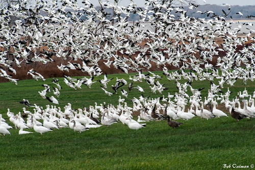 geese snowgeese laketexoma hagermannationalwildliferefuge rossgeese nikon70200mm nikond700