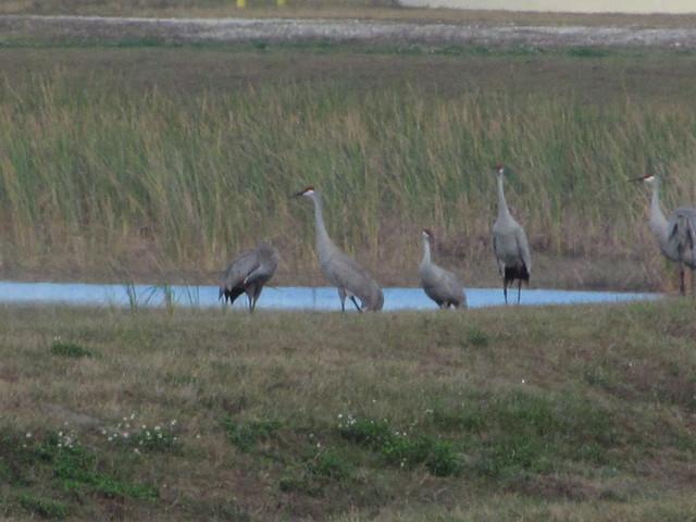 Flock os sandhill cranes