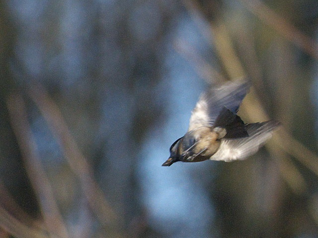 DSC_5336 Marsh Tit in flight