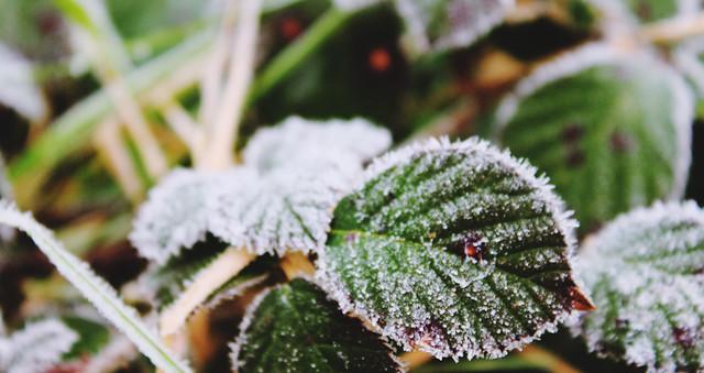 Frosty Plants 3