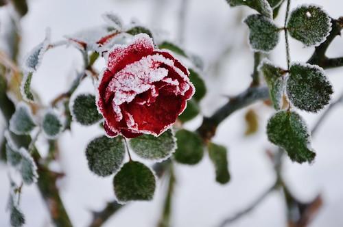 winter snow nature rose garden botanical frozen frost poland polska natura botanic kraków cracow zima śnieg róża ogród krakoff botaniczny