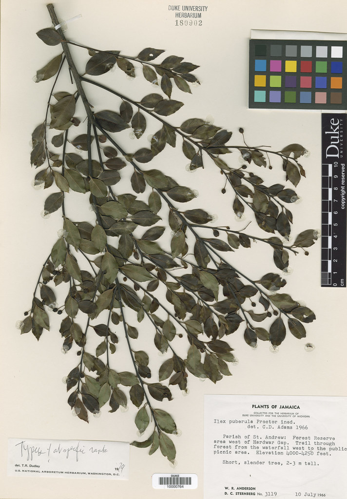 Aquifoliaceae_Ilex puberula