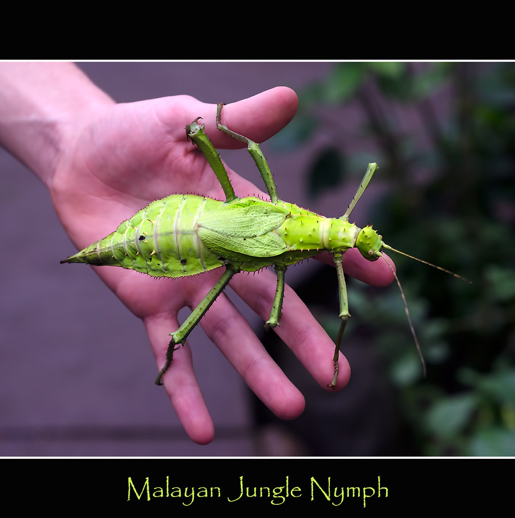 Malayan Jungle Nymph