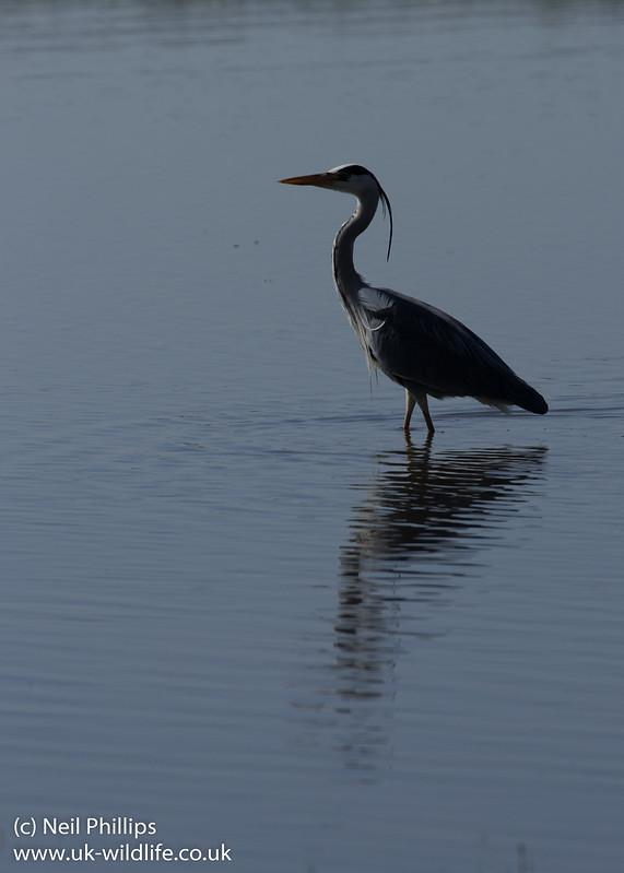 Grey heron silhouette