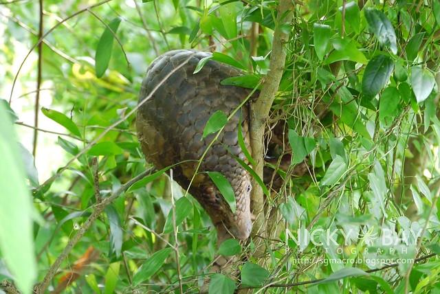 Sunda Pangolin (Manis javanica) - P1040730