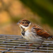 Reed Bunting by ZILL NIAZI