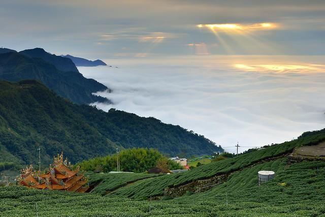 Tea Field @頂石棹