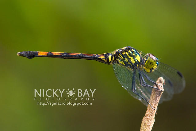 Dragonfly (Anisoptera) - DSC_7653