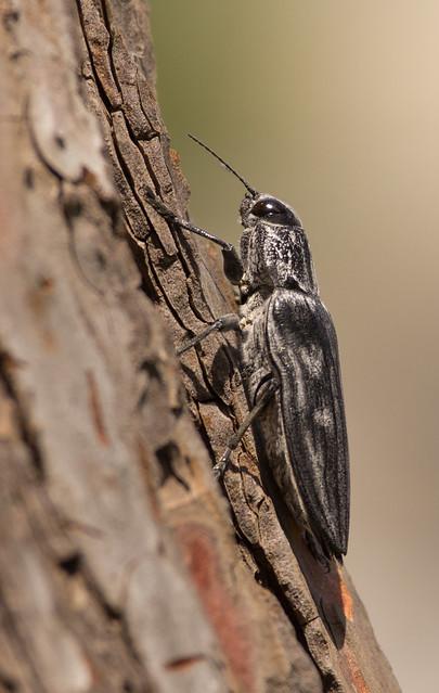 Intermediate pine borer Buprestid Beetle Chalcophora intermedia