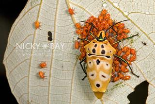Shield-Backed Bug (Cantao ocellatus) - DSC_7754