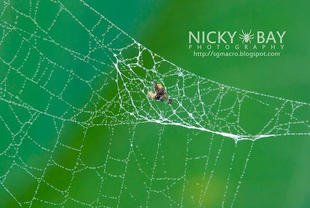 Orb Weaver Spider (Cyclosa ginnaga) - DSC_6998