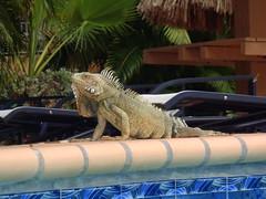 Poolside iguana