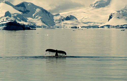 whale tail antarctica by stephen mawby