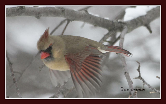 Female cardinal in flight - photo#17