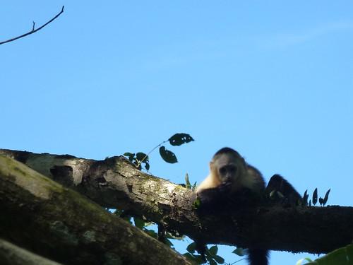 Hacienda Baru National Wildlife Refuge - kapucijnaap 1