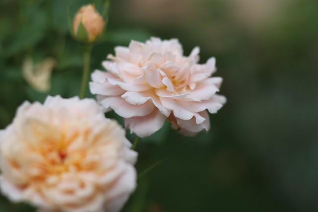 4767 Folksinger rose