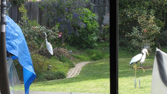 IMG_4973 great egret backyard heron