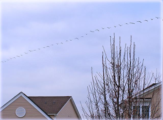 ~ lots of geese...