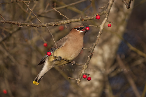 winter bird breakfast canon nc berries cedarwaxwing jordanlake bombycillacedrorum specanimal avianexcellence imaginefotocom