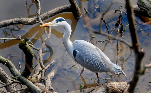 Heron Looking for food by Andy Short's Nature Photography.