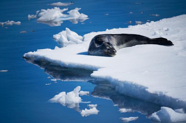 RYALE_Antarctica_Seals-6
