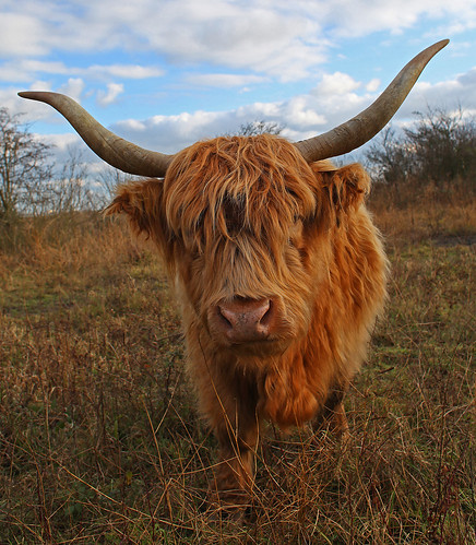 Highland Cattle Stonelees by Kinzler Pegwell